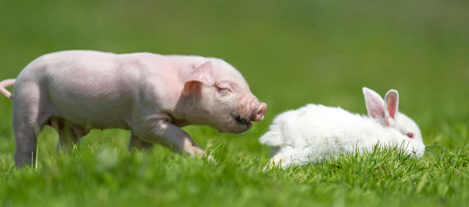 Piglet and white rabbit on spring green grass on a farm. Newborn piglet and white rabbit on spring green grass on a farm stock image