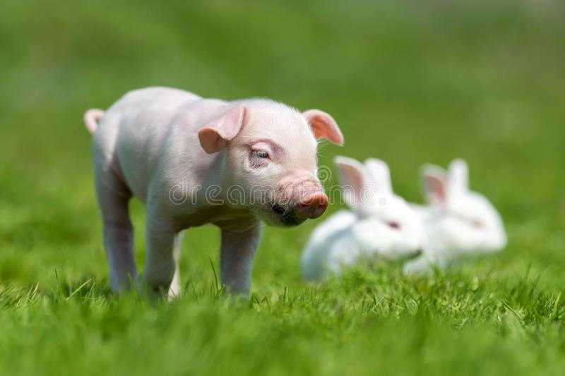 Piglet and white rabbit on spring green grass on a farm. Newborn piglet and white rabbit on spring green grass on a farm stock photos