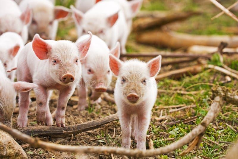 Piglets royalty free stock photo