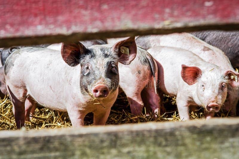 Piglets royaltyfri bild