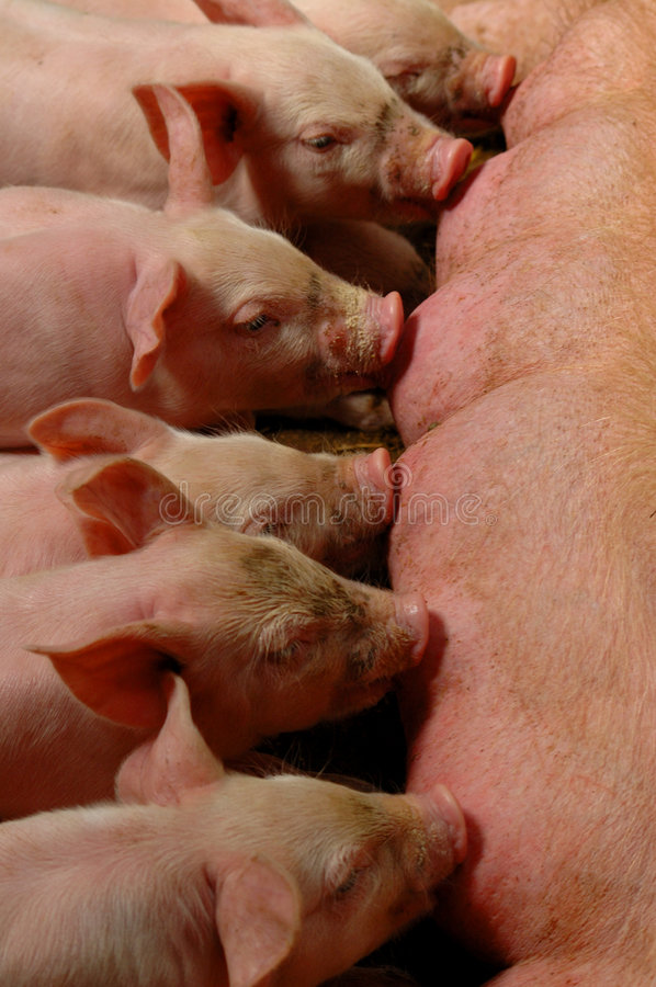 Free Piglets Stock Images - 5205844