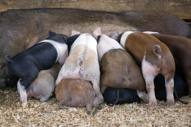 Piglets eating royalty free stock photography
