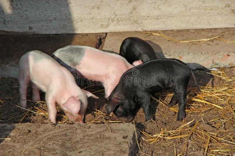 Piglets playing and jolly run in farm yard. Funny pigs. Baby piglets play in yard. Little pigs live at farm. In village royalty free stock photo