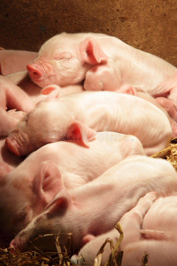 Piglets sleeping royalty free stock photo