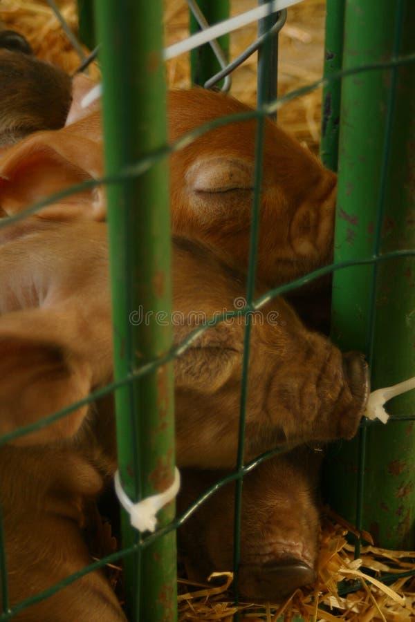 Piglets sleeping. stock photography