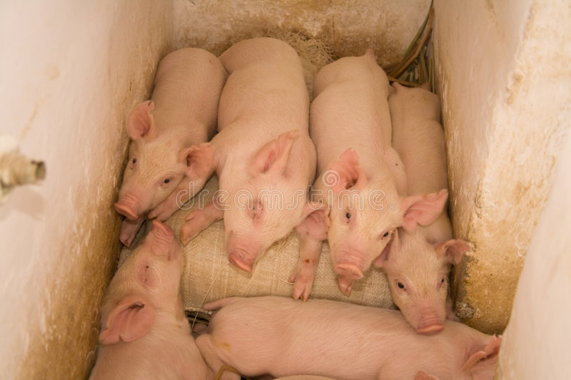 Piglets in stall. Family of crossbred Land Race and Large White piglets in stall royalty free stock photography