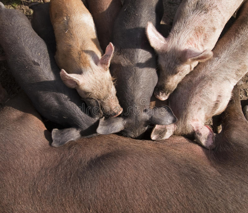 Piglets suckling from mother royalty free stock photos
