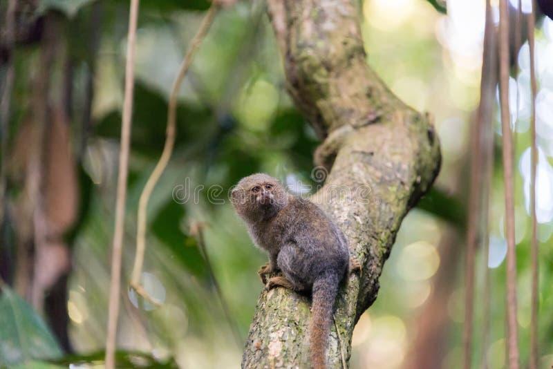 Pigmej małpa obrazy stock