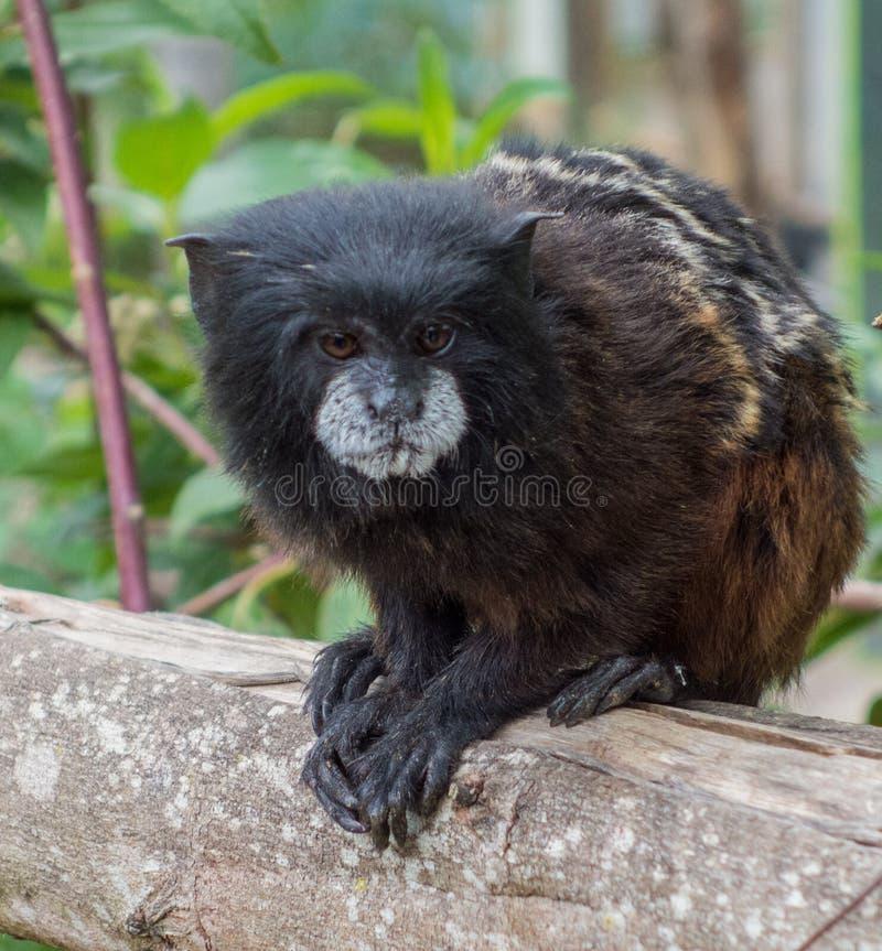 Pigmej małpa Siedzi na poręczu obraz royalty free