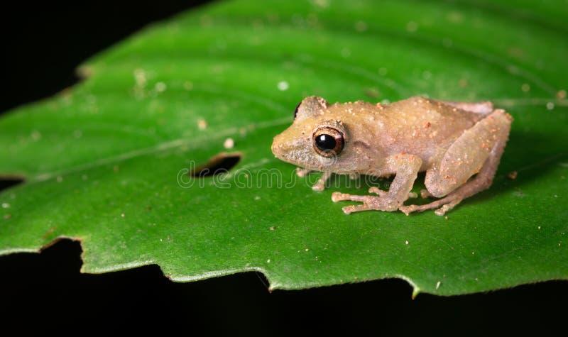Pigmej podeszczowa żaba, aka Rio San Juan rabusia żaby Pristimantis ridens, obraz royalty free