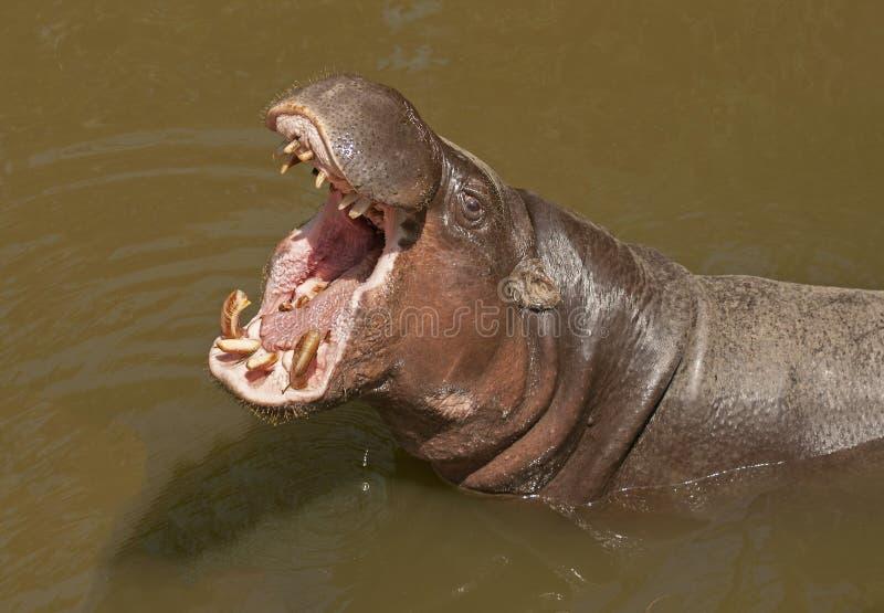 Pigmejowy hipopotam fotografia stock