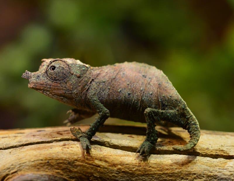Pigmejowy kameleon obrazy royalty free
