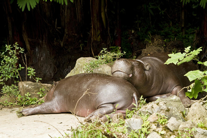 Download Pigmy hippo stock image. Image of creature, endanger - 14850567