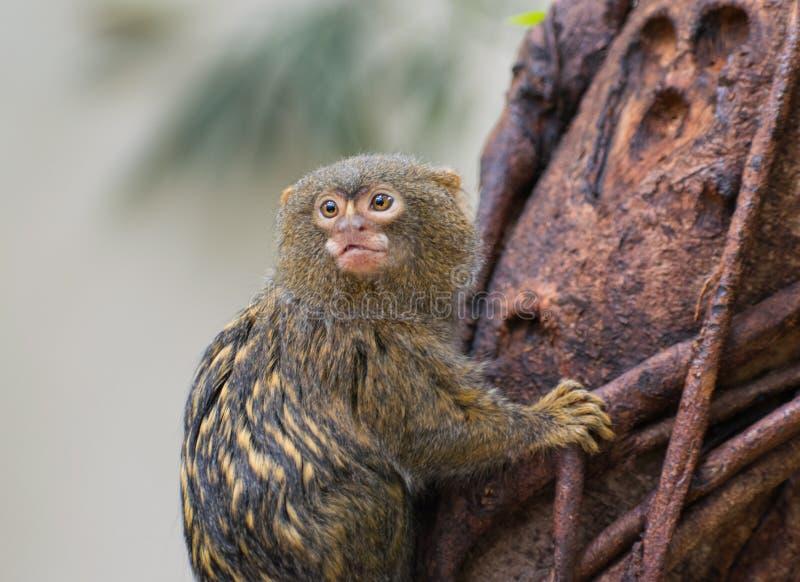 Pigmy marmoset monkey finger monkey. Cute little finger monkey Pigmy marmoset on the tree, closeup stock photos