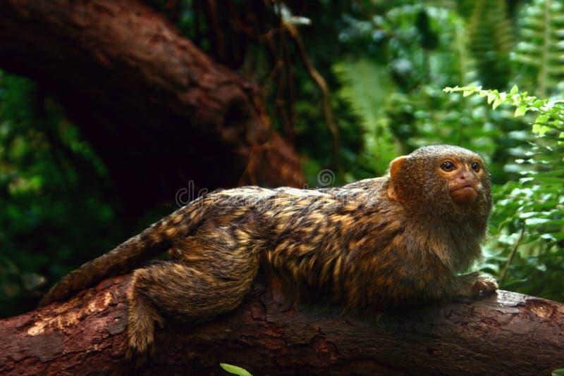 Pigmy marmoset. On a tree royalty free stock photos