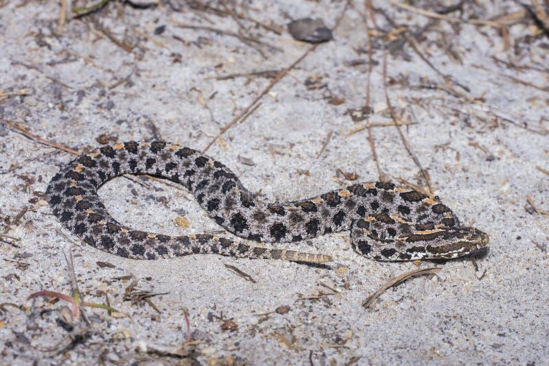 Pigmy Rattlesnake royalty free stock images