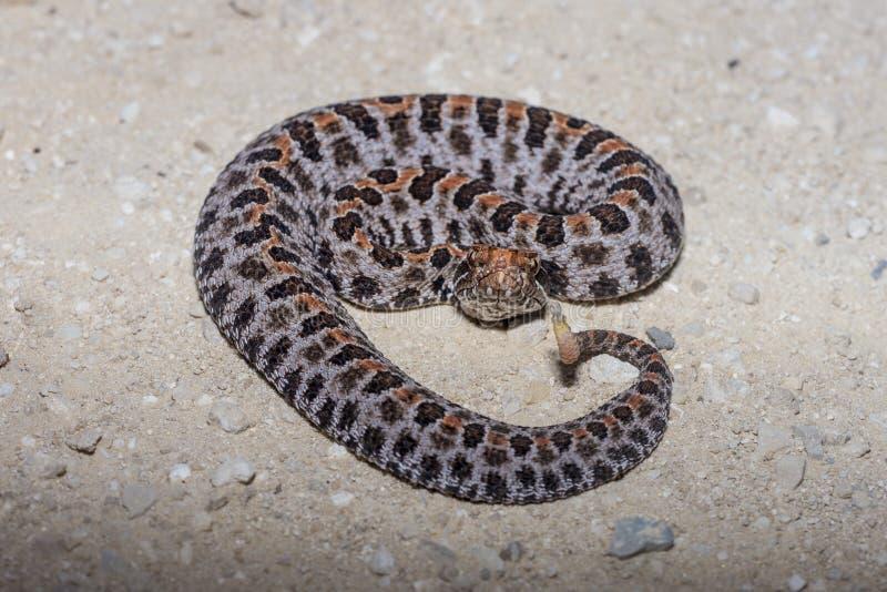 Pigmy Rattlesnake stock images