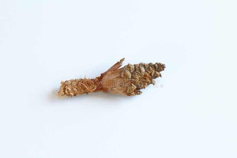 Pigna parzialmente alimentare dagli scoiattoli fotografie stock