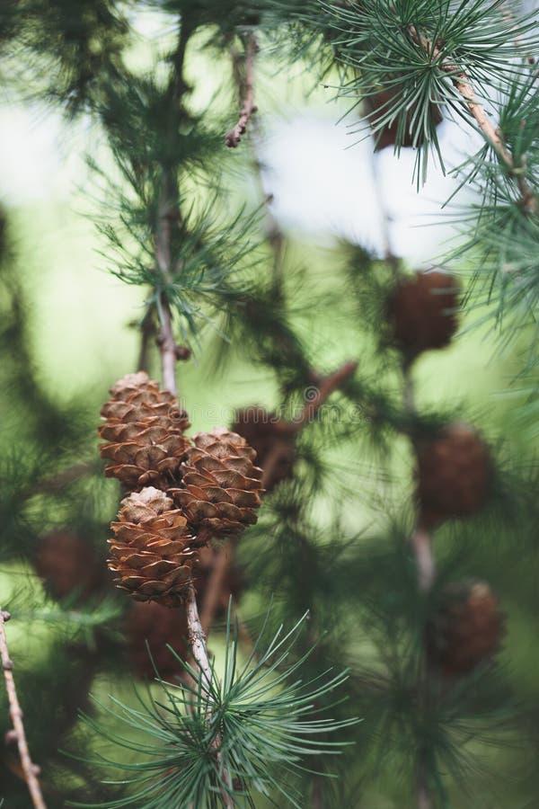Pigne e ramoscelli, pianta sempreverde Ambiente naturale, sostenibilità fotografia stock