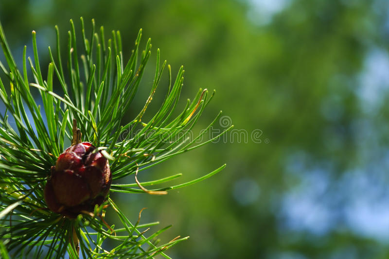 Pigne fresche del primo piano su un ramo al giorno soleggiato fotografia stock