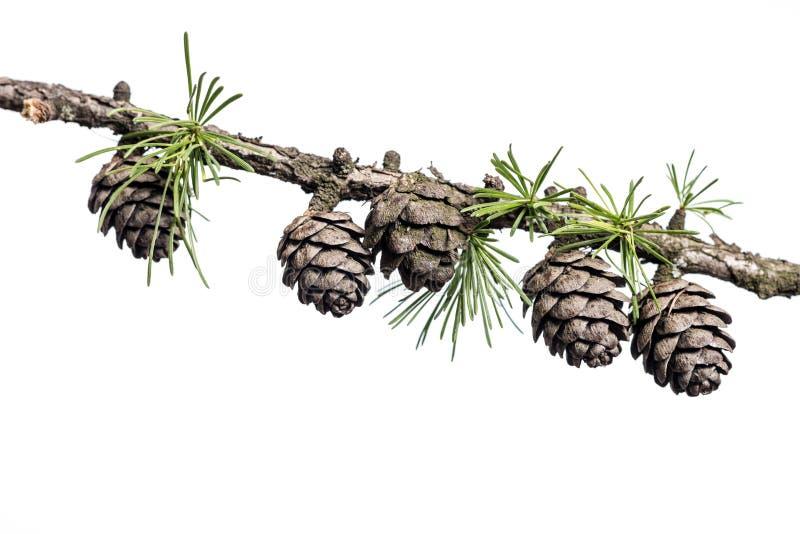 Pigne sul ramo dell'albero della conifera fotografia stock libera da diritti