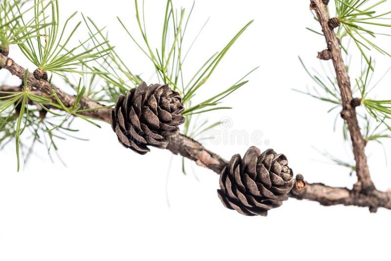 Pigne sul ramo dell'albero della conifera immagini stock libere da diritti