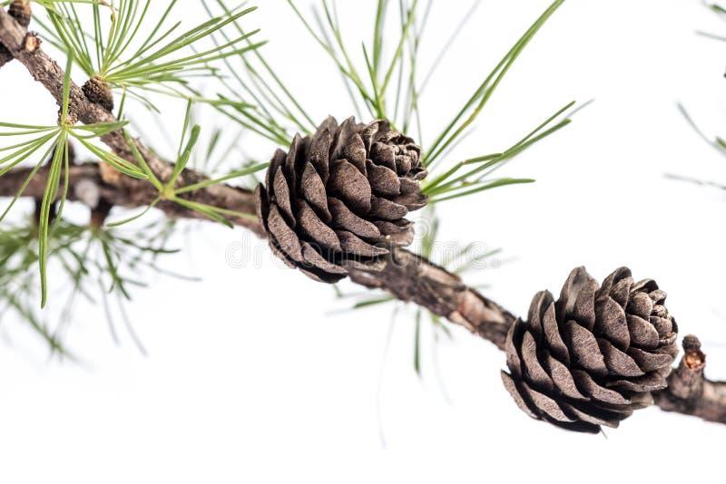 Pigne sul ramo dell'albero della conifera fotografie stock