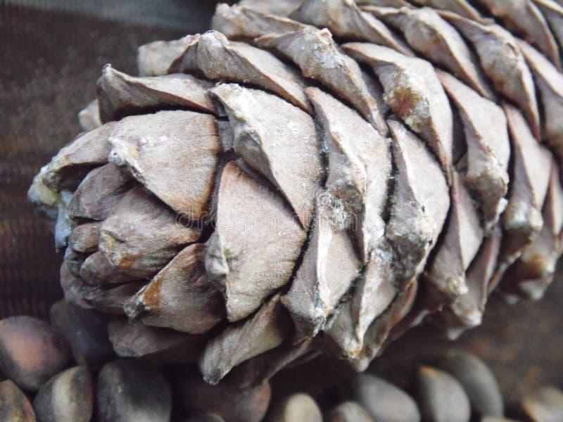 Pignons et cônes de cèdre photo libre de droits