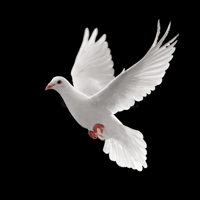 Pigoen flying. Flying white dove isolated on black background