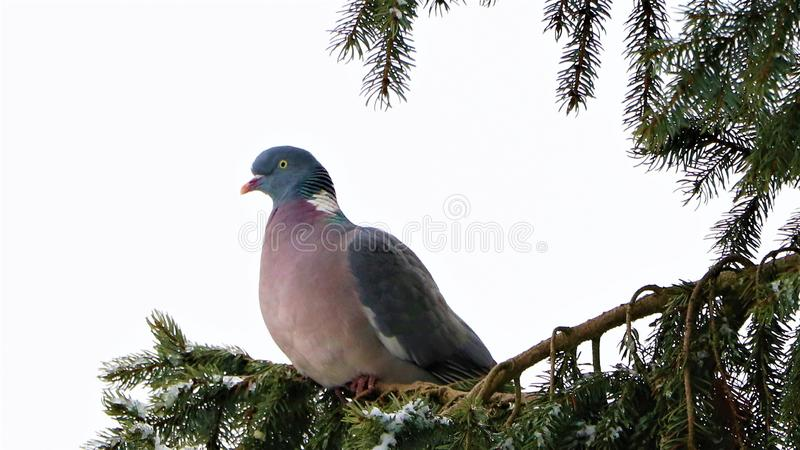 Pigoen sitting on spruce branches, Denmark royalty free stock photos