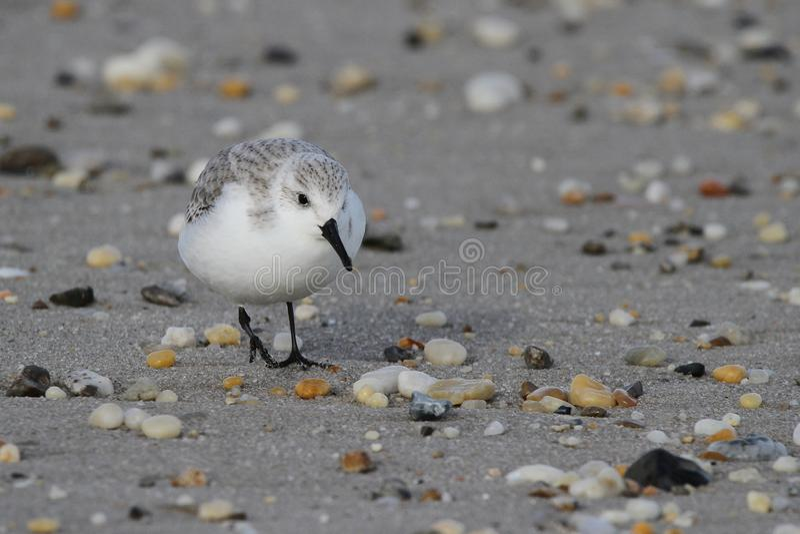 Pigolio su Rocky Beach fotografia stock libera da diritti