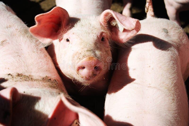 pigpoen pigs arkivbilder