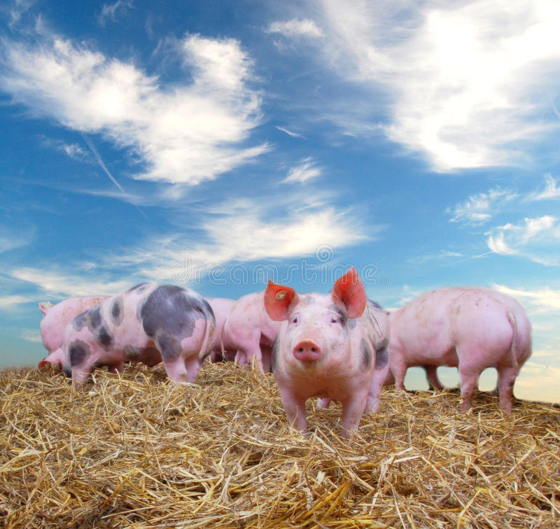 Free Pigs Royalty Free Stock Images - 10241029