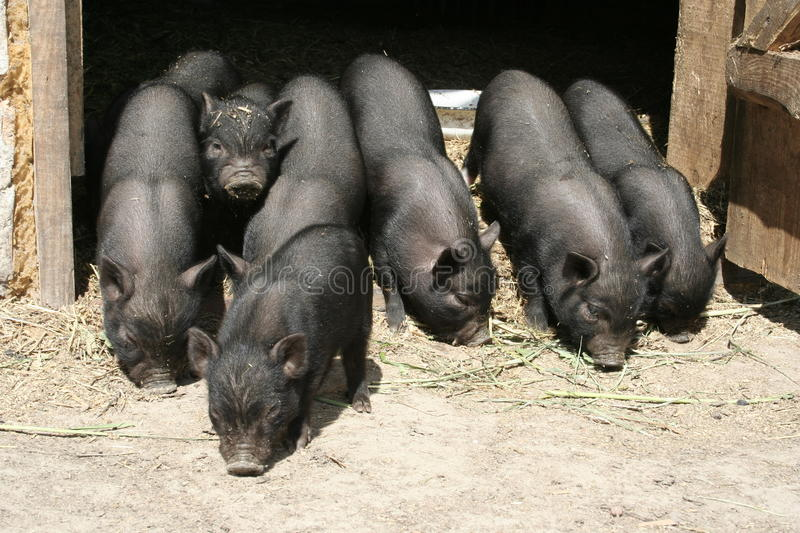 Download Pigs stock image. Image of farming, breeding, agriculture - 10894979
