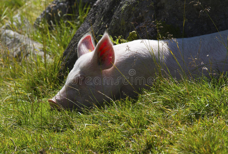 Pigs stock image