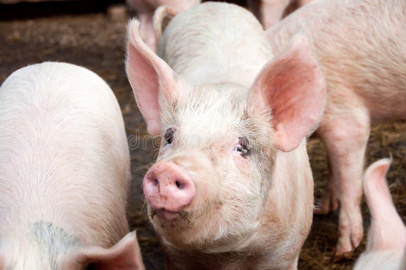 Pigs royaltyfria bilder