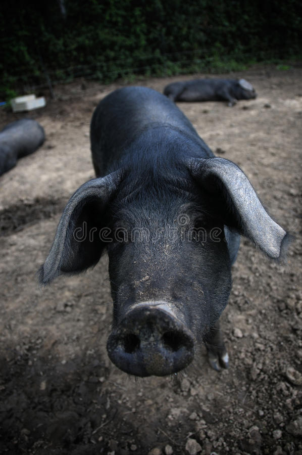 Free Pigs Royalty Free Stock Photo - 27591145