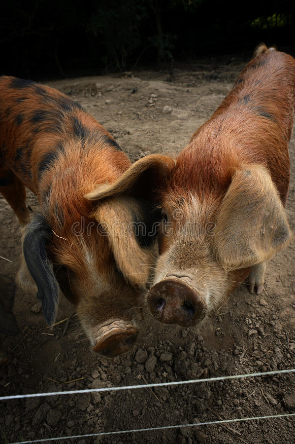 Free Pigs Royalty Free Stock Photography - 33507097
