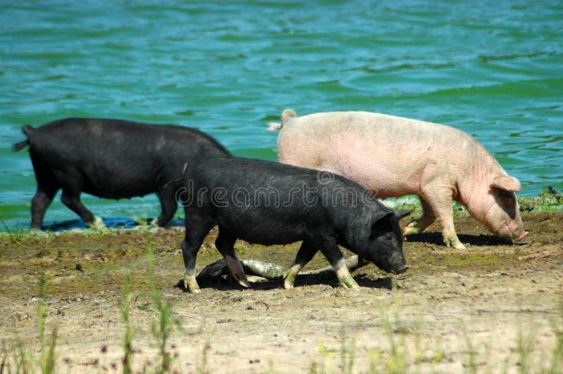 pigs arkivbilder