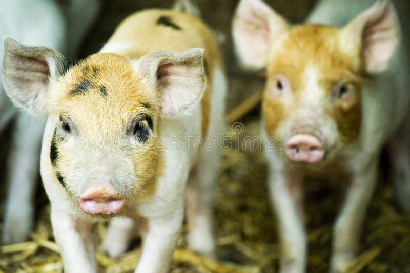 Download Pigs stock photo. Image of faces, young, pigpen, pigs - 5088108