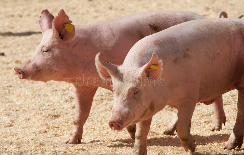 pigs arkivfoto