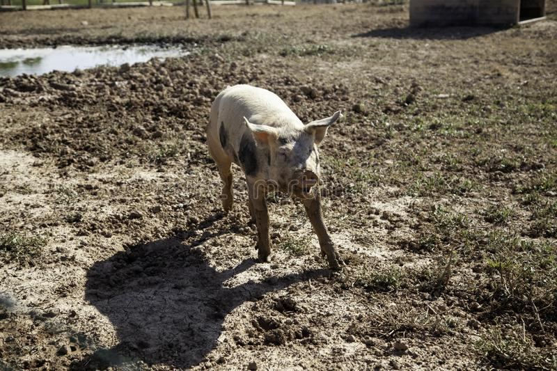 Pigs on farm. Pigs in animal farm, nature and food industry, young, pork, swine, piglet, hog, breeding, livestock, snout, agriculture, nose, piggy, funny, big stock photo