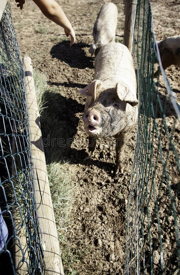 Pigs on farm. Pigs in animal farm, nature and food industry, young, pork, swine, piglet, hog, breeding, livestock, snout, agriculture, nose, piggy, funny, big royalty free stock images