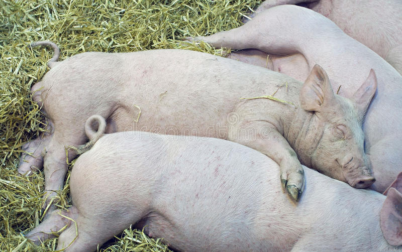 Download Pigs babys stock photo. Image of tenderness, love, agriculture - 19069358