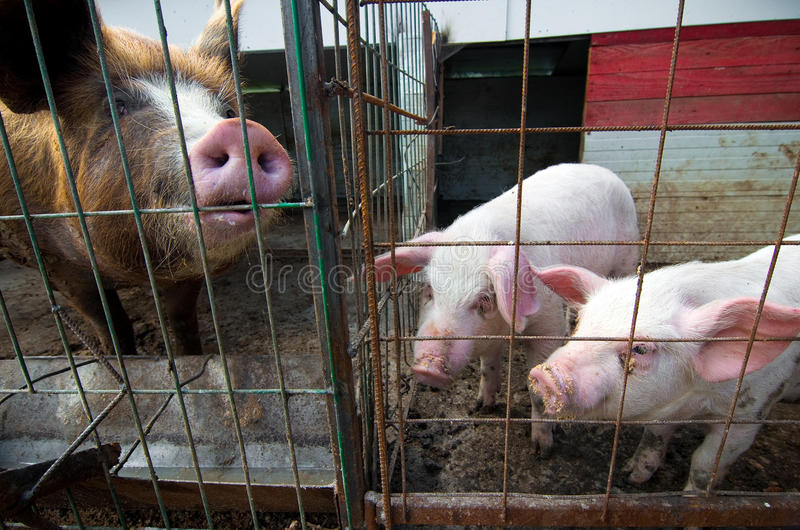 Pigs being curious stock photography