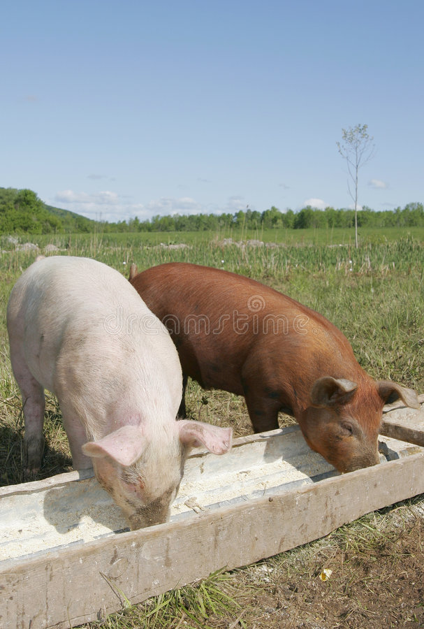 Pigs eating stock images
