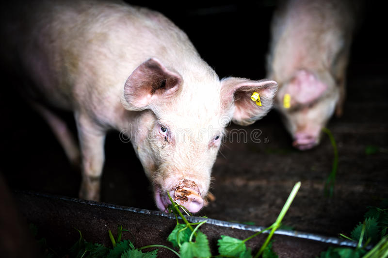 Pigs eating grass at local farm in the countryside royalty free stock photography