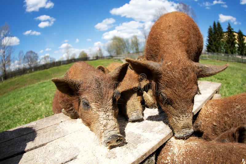 Pigs eating stock photo