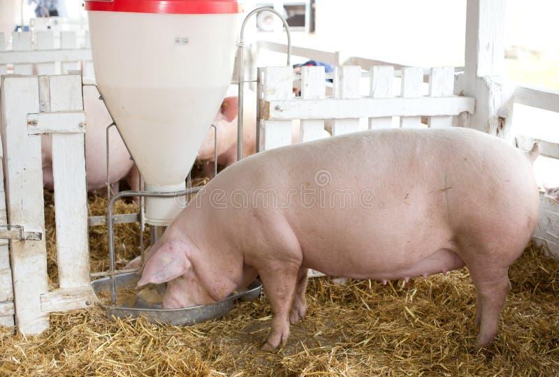 Pigs eating from hog feeder. Large white swine (Yorkshire pigs) feeding from plastic hog feeder on ranch stock images