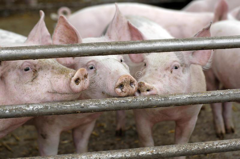 Download Pigs on an eco farm stock image. Image of nature, nose - 11845641